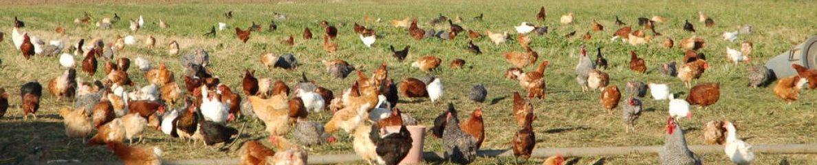 Desi Murgi Farming – Backyard Poultry Farming